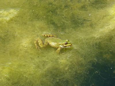 Algen im Teich – das SOS der Natur