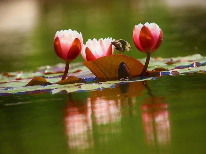 Teichpflanzen Schlammhexe